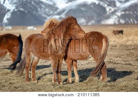 Two young Icelandic horse foals nuzzling and cuddling on a sunny afternoon in a farm field in western Iceland