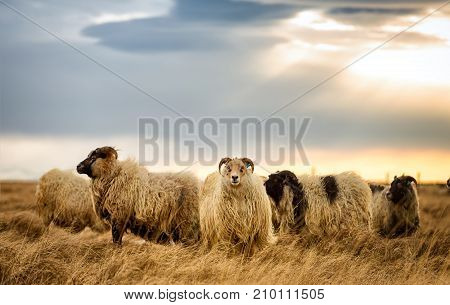 Rams grazing on a pasture in Iceland on a cloudy day