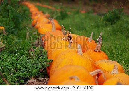 Row of orange pumpkins with selective focus and grass either side. A background with space for text.