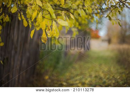 Old wooden fence. Branch with yellow leaves over the fence. The grass is sprinkled with yellow autumn leaves.