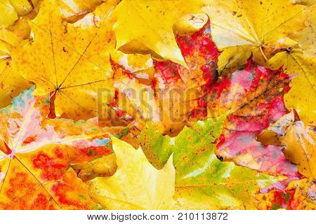 Colorful wet maple leaves background at autumn day time.