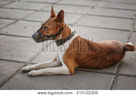 Cute dog with muzzle lying in the street