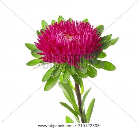 Beautiful chrysanthemum flower, isolated on white