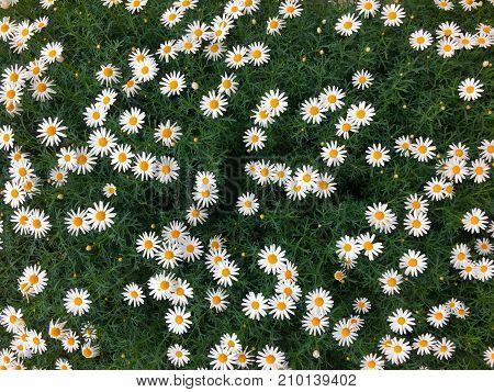 Beautiful fully bloomed daisy flower field background