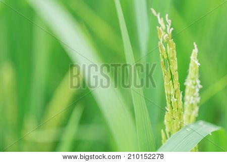 Closeup Green Awn Rice Seed Of Thai Jasmine Rice In The Field Nature Background