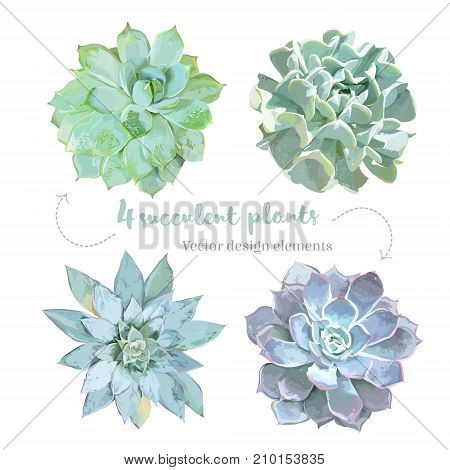 Rosette shaped succulents Echeveria vector design set. Mint, green, purple, blue colored flowers on white. Desert decorative plants collection. Watercolor style. All elements are isolated and editable