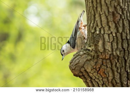 Beautiful nature scene with bird white-breasted nuthatch (Sitta carolinensis). Macro shot of bird on the tree. Bird in the nature habitat.