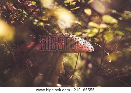 Fly Agaric In A Forest
