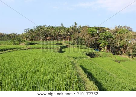 Green rice field in Local place East Java Indonesia