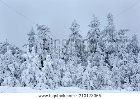 snow covered pine trees and beautiful mountain side on a foggy winter day