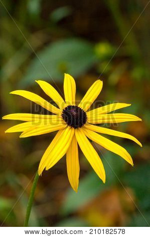 Close-up of a beautiful yellow Coneflower. View on a beautiful yellow  Flower Head. Blooming Garden Flowers. Flower and Nature Backgrounds.