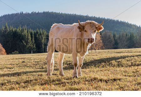 A herd of cows on autumn pasture. Autumn meadow and cow. White hirsute cow on a meadow autumn meadows in Sumava. Czech South Bohemia.