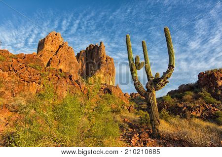 saguaro cactus in the Superstition wilderness Arizona