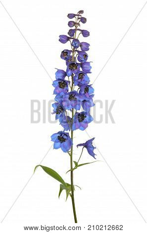 Delphinium flower isolated on a white background