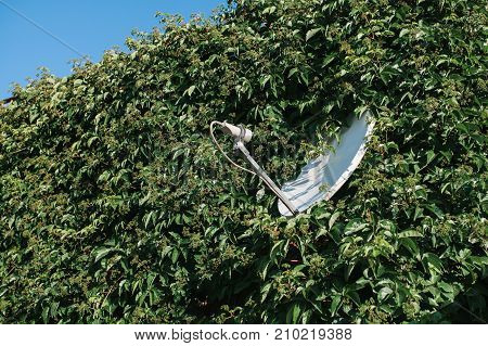 Satelite. White satellite dish was lost in the green thickets of decorative weaving plant