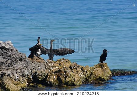 Cormorant birds on rocks with spread wings on Anna Maria Island Florida