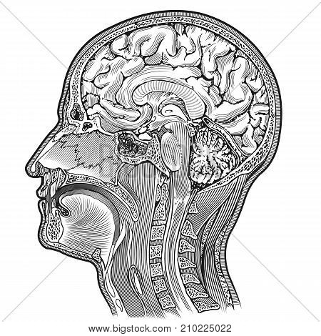 human head anatimical dissection scheme medical illustration retro