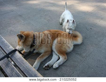Little dog carefully skiffing big akita Inu puppy