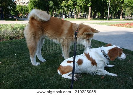 Akita Inu and Anglish Setter introdusing in public park