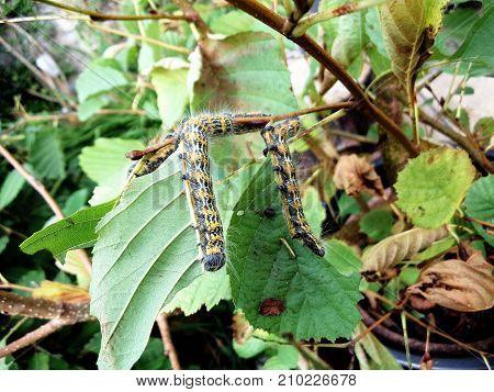 upside down munching moth caterpillars in rural garden setting