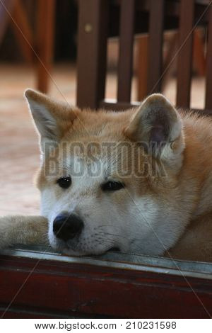 Portrait of young Akita Inu resting on the doorframe