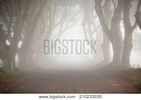 Dawn fog, among trees of Dark Hedges, North Ireland