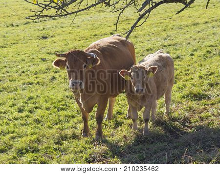 cute shaggy beige calf and ginger bull front view on the grass pasture in golden light with dry branch