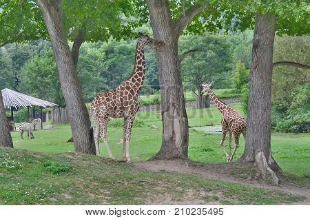 giraffe ZOO Dvur Kralove eastern Bohemia Czech Republic