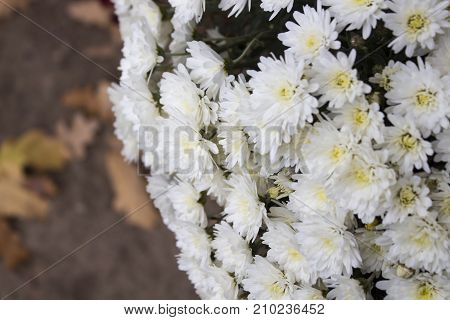 flowers, flowers, flowers, autumn, red and yellow, white and orange, flowers with a blurred background, autumn flower, flowers in a vase, different flowers, with leaves of trees Autumn flowers, autumn background.Landscape with flowers, chrysanthemums