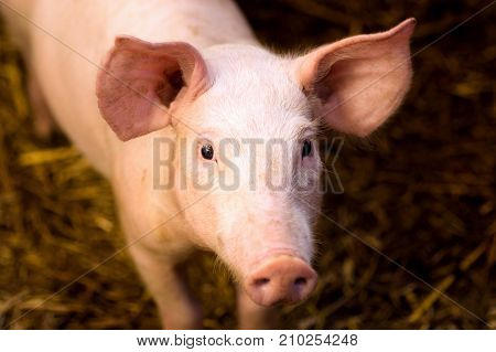 Animal portrait of young pig farm animal.