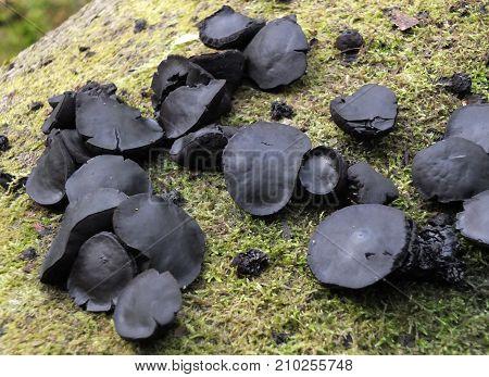 black bulgar fungus on a mossy tree trunk