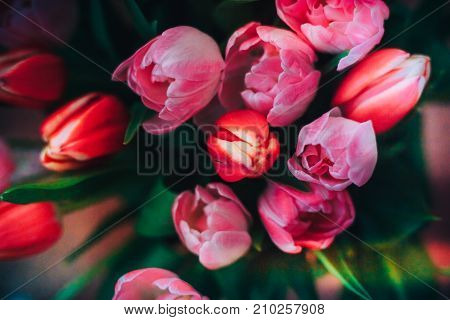 Beautiful red and pink tulips natural background and reflections