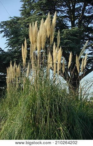 Pampas grass (Cortaderia selloana) with many flower heads. Background with a large tree and blue sky.