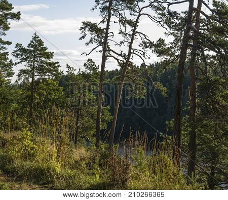 Pines on the high bank of the lake