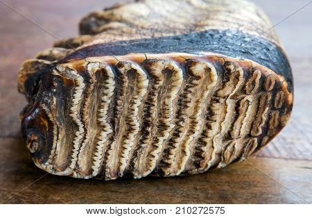 animal tooth elephant in wooden background royalty free photostock photos