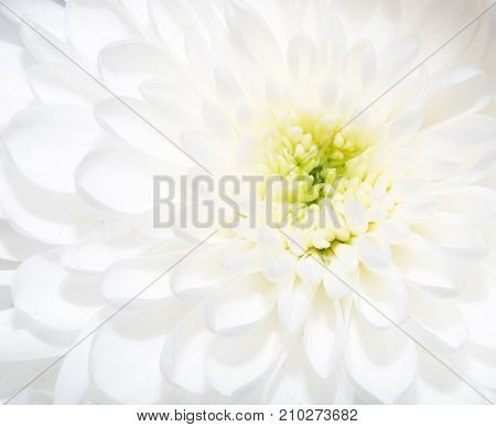 beautiful white flower . In the park in nature