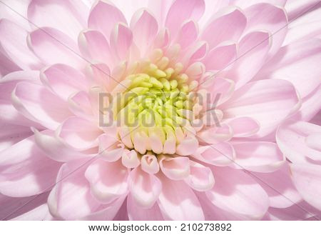 beautiful pink flower . In the park in nature