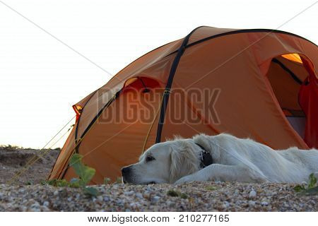 The dog is lying near tent.Camping tent in wilderness by the seaside. Tent. Dog. Golden Retriever guarding tent and gear for a hike.