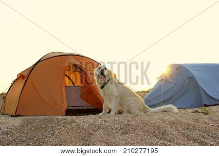 The dog is sitting near tent.Camping tent in wilderness by the seaside. Tent. Dog. Golden Retriever guarding tent and gear for a hike.