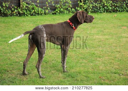 German Shorthaired Pointer male almost 3 years old