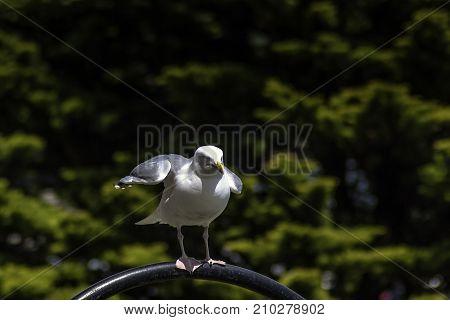 Wild seagull in Cornwall / United Kingdom