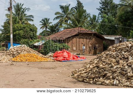 Belathur India - October 28 2013: Farm house and farmer with piles of corn cobs freshly harvested and others peeled and ready for transport. Green tree background.