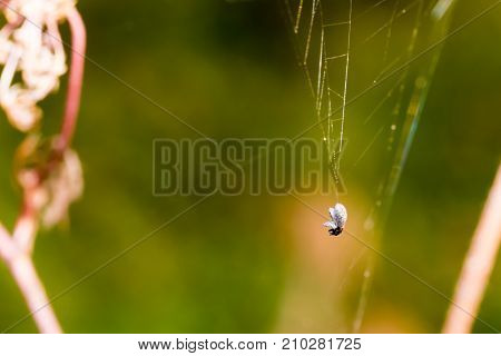 Dead Small Bug Caught In Spider Web. Macro Photography, Close-up Shot With Shallow Depth Of Field