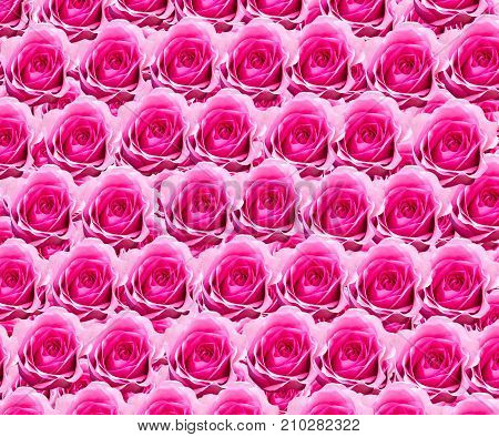 Natural roses background. View from the top