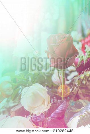 Rose background. vintage color filter. For design