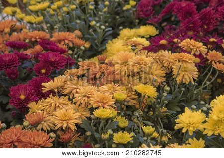Fall or Autumn Colored Marigolds at Farmers Market