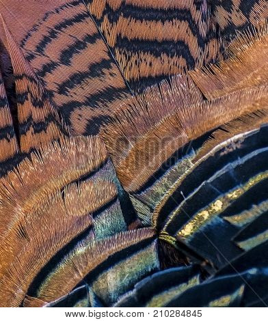 Close Up of Turkey Feathers with Stripes Colors and Patterns