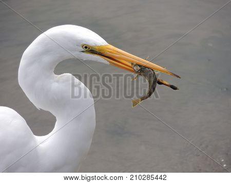 Heron on Oregon Coast Successfully Catching Breakfast