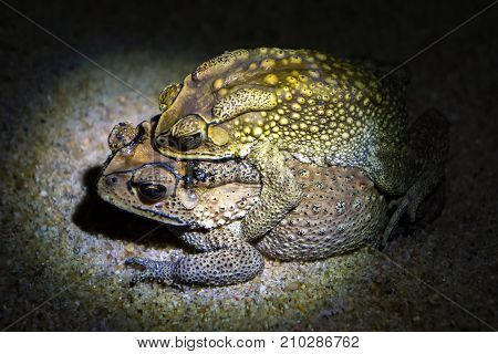 Common brown toads reproduce at night, female carrying male on her back, going towards a pond where the eggs are laid