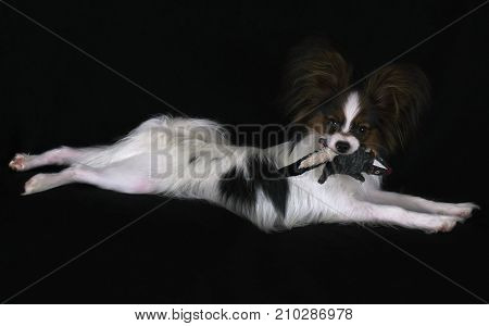 Beautiful young male dog Continental Toy Spaniel Papillon with plush toy on a black background